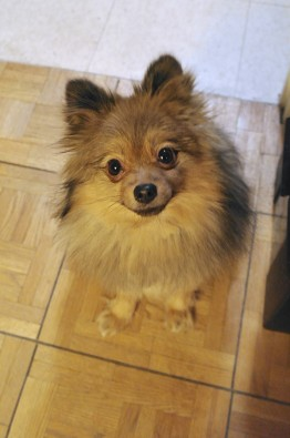 Sitting-Pomeranian