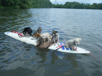 6 dogs on a surf board