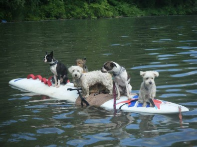 how many dogs fiton a surfboard