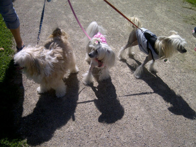 hairy hairless and chinese crested powder puff