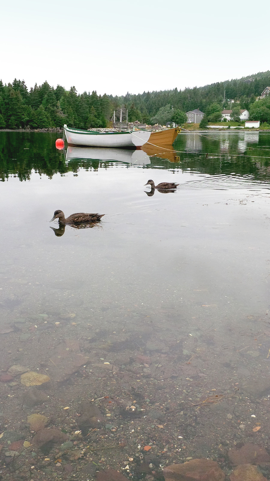 Ducks-in-Conception-Harbour