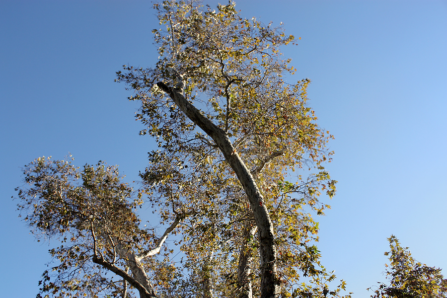 Trees-in-Saratoga