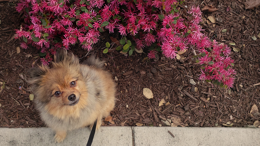 Alfie-and-pink-flowers