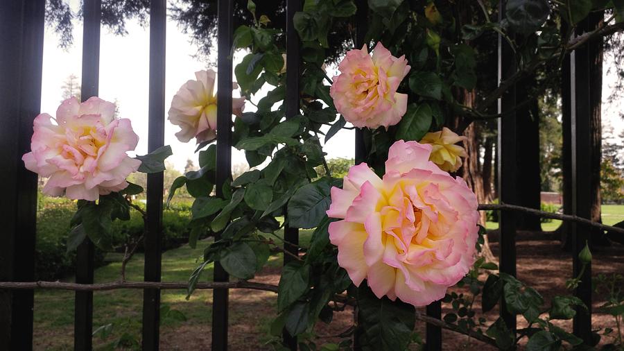 Roses-at-Rose-Garden