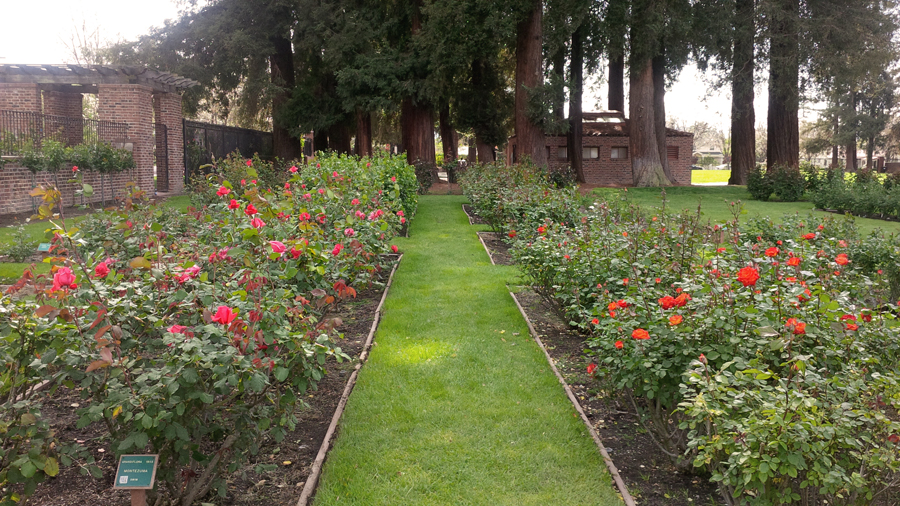 Roses-for-days