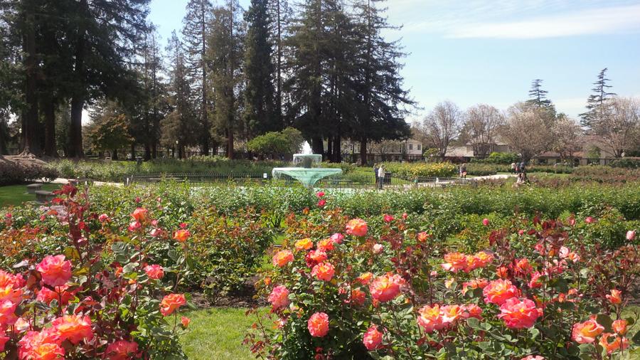 Roses-in-San-Jose
