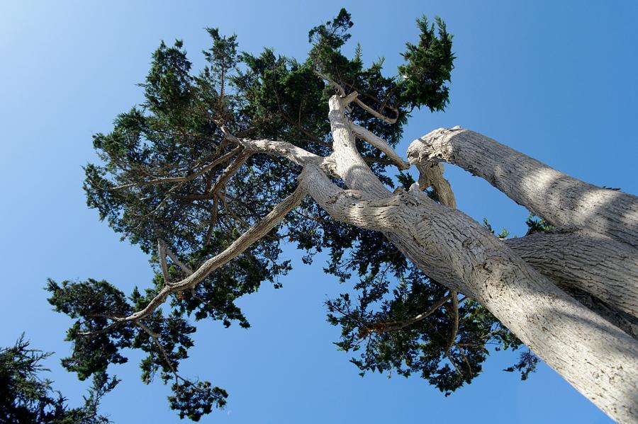 Carmel-trees