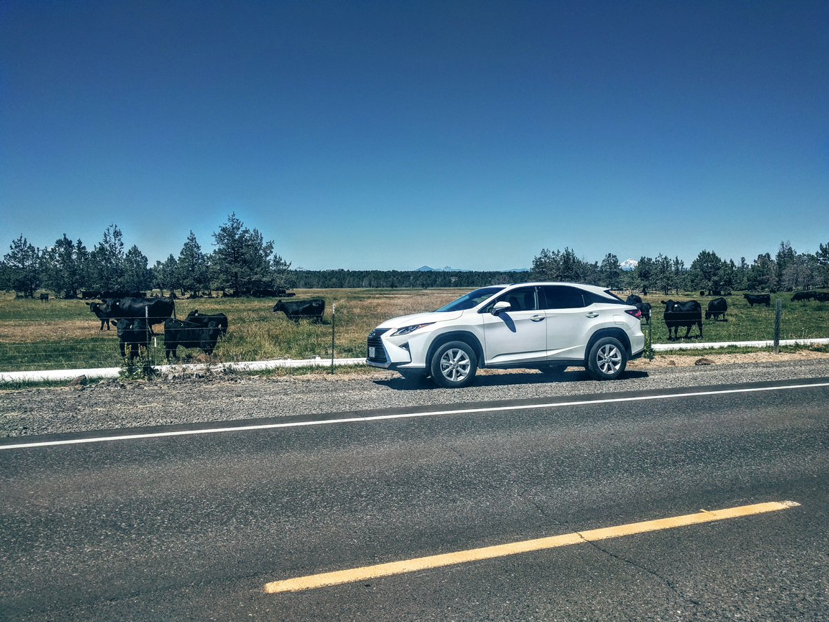 Lexus-and-Cows
